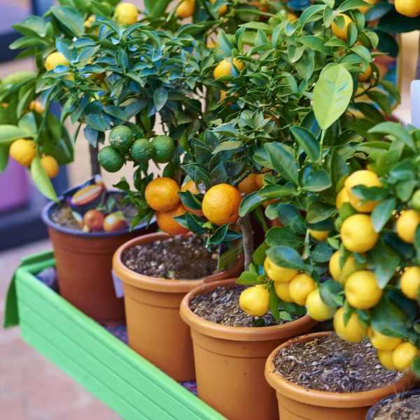 Patio fruit trees/shrubs