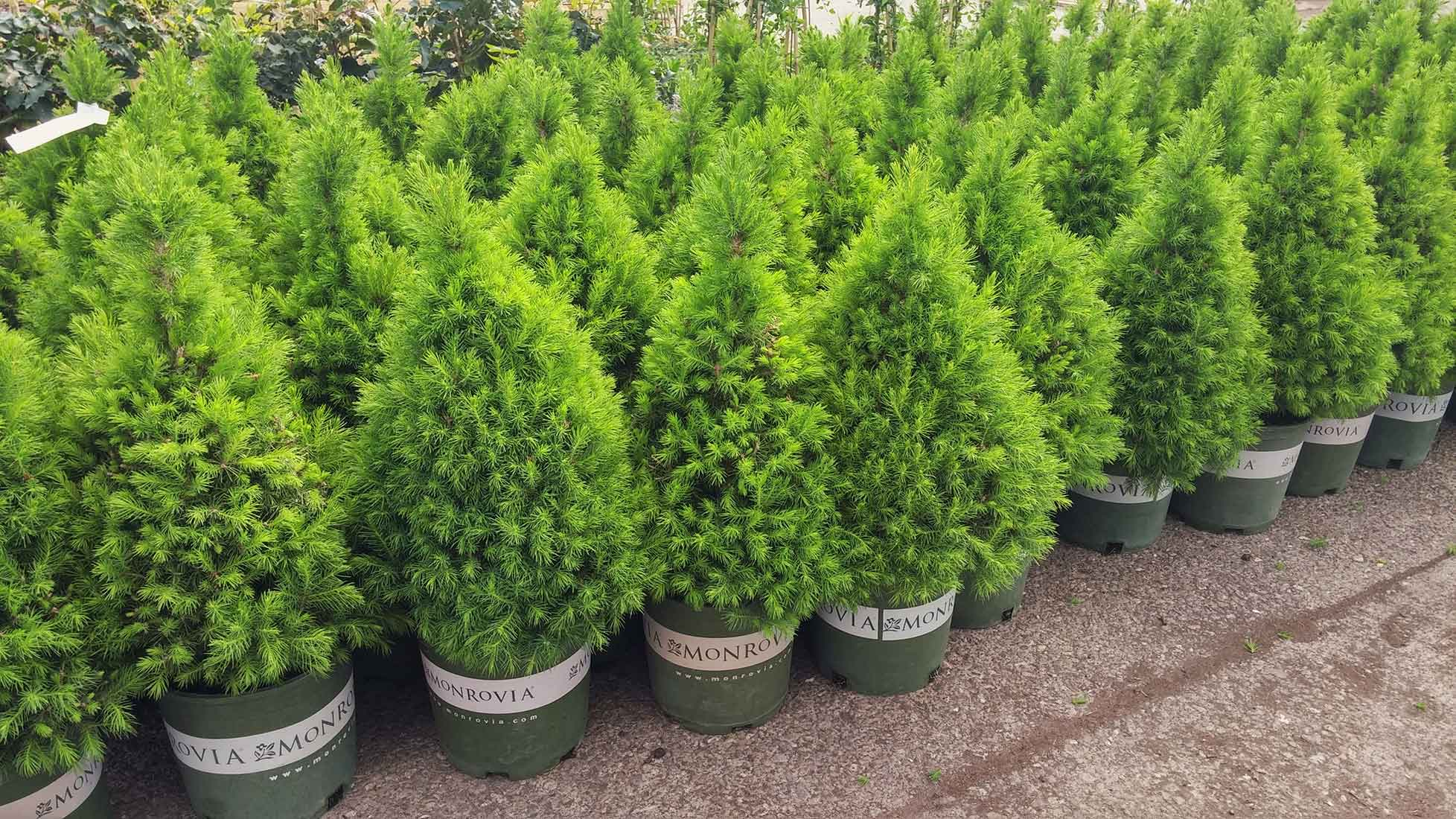 POTTED TREES AND SHRUBS