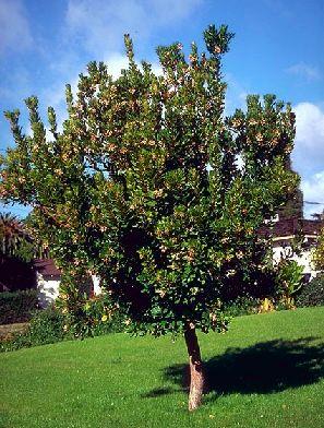 Strawberry Tree Arbutus Unedo Tree Nursery Uk