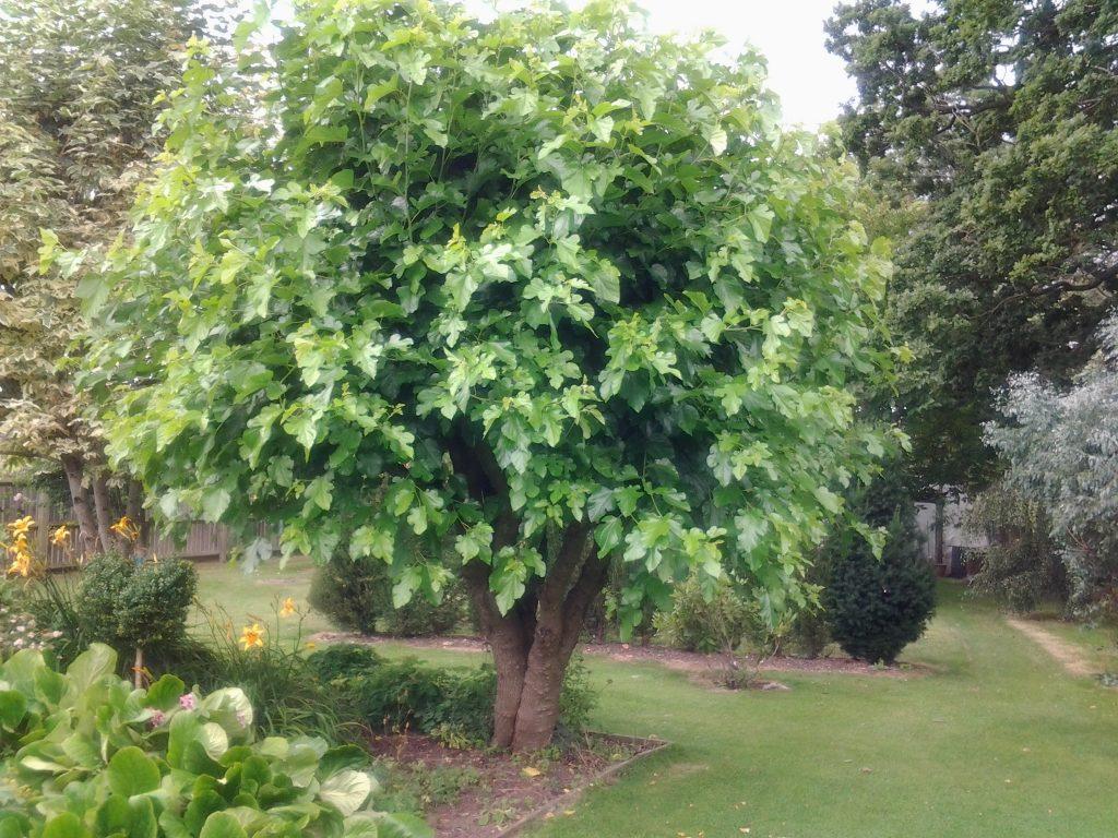 Black Mulberry Morus Nigra Tree Nursery Uk