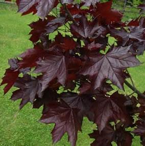 Crimson King Maple Acer Platanoides Tree Nursery Uk