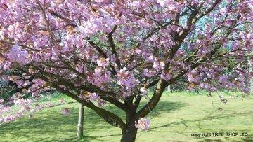 Cherry Kanzan Prunus Kanzan Double Blossom On Line Tree Shop Co Uk Tree Nursery Uk Fast Uk Delivery